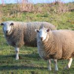 Die Beste Schafschermaschine