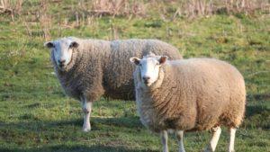 Schafschermaschine